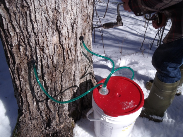 tapping sugar maple