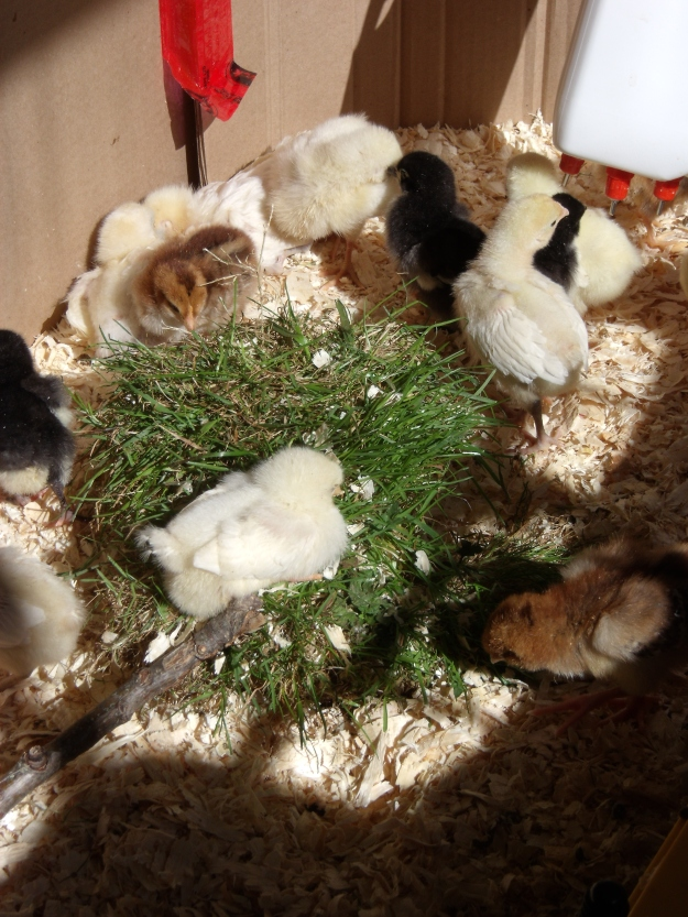 chicks playing on sod in brooder