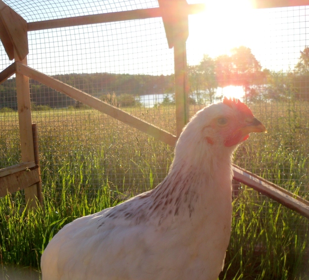 Chicken in the sunrise